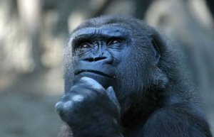 gorilla-thinking