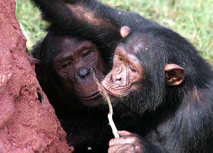 schimpanse werkzeug